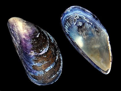 Shell Date Anyone by File Blue Mussel Mytilus Edulis Shell Jpg Wikimedia