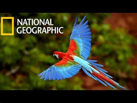 parrots majestic birds (national geographic)   animal