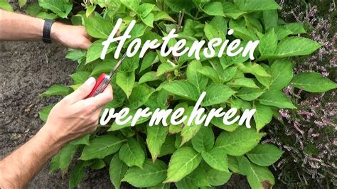 hortensien stecklinge hortensien durch stecklinge vermehren so wirds gemacht