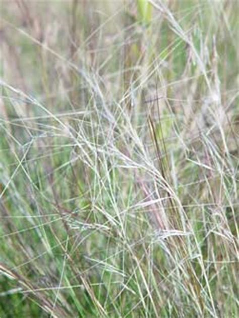 grass awns eastern washington bunchgrass pictures