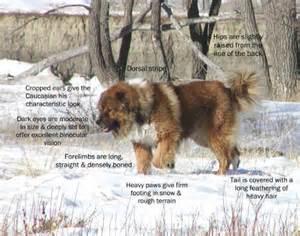 Caucasian Mountain Dog Weight » Home Design 2017