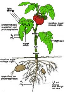 how to grow tomatoes and potatoes on one plant dan330