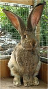 this is a sized rabbit the ears are large so