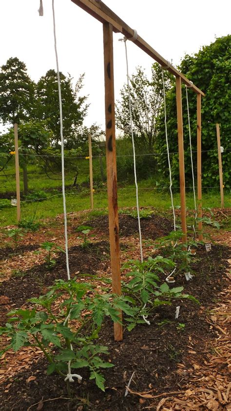 String Trellis Tomatoes tomato trellising with string gardening ideas for my frugal friends
