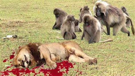 lion  pelea real del babuino del babuino lion atacar exclusivos youtube