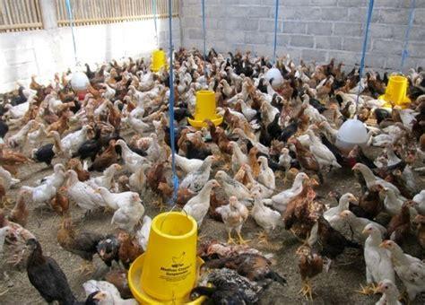 Bibit Ayam Jawa kandang yang baik untuk ternak ayam kung joper