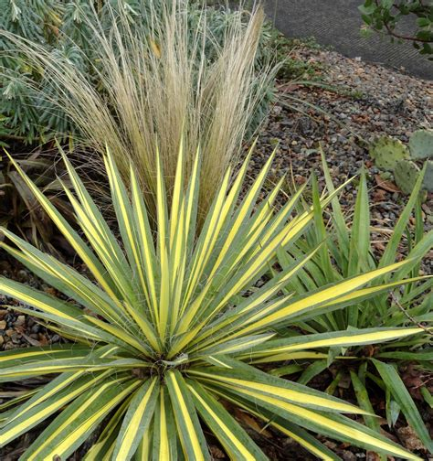 Garten Yucca by Danger Garden Another Yucca Filamentosa Is My Favorite