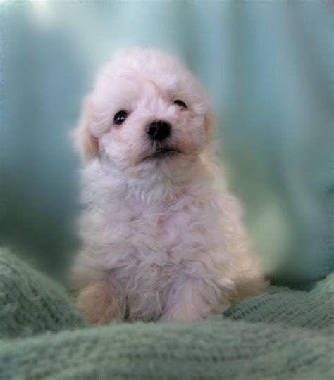yorkie poo for sale hshire teddy puppies sale wi breeds picture
