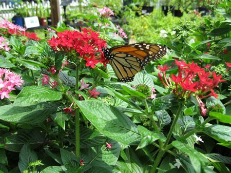 Monarch Garden by Still Waters Notes From A Virginia Shire June 2014