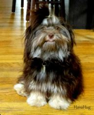 havanese michigan havahug havanese puppies havahug havanese puppies of michigan