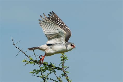 Blue Barn Marina African Pygmy Falcon Bird Light Wind