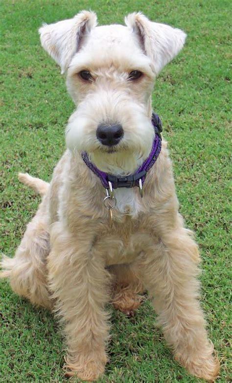 photos of lakeland terriors hair styles lakeland terrier terriers and hair cut on pinterest