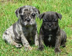 boston terrier pug for sale 1000 images about bugg dogs on boston terrier pug bugg puppies and