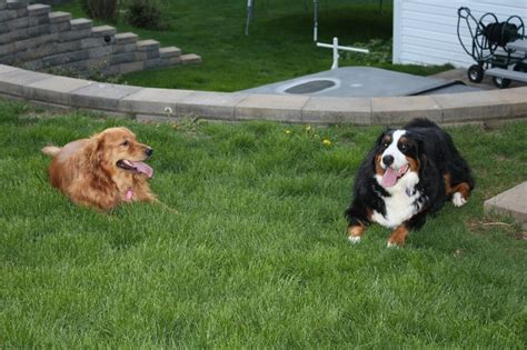 golden retriever bernese mountain libby golden retriever rosey bernese mountain pets
