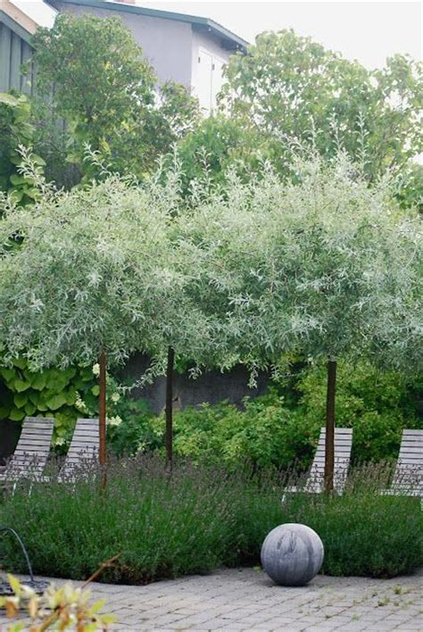 Garden Design With Pruning Plants Silver Pear Trees Underplanted With Lavender Texture Colour Landscape Garden