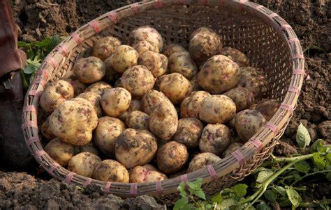 wann werden kartoffeln gesetzt kartoffel solanum tuberosum gartenzauber