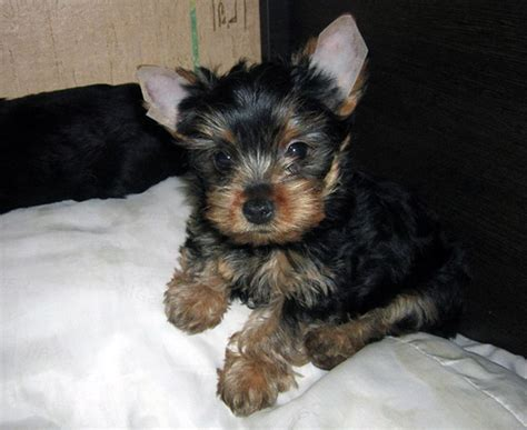 how to a yorkie puppy to potty the essential aspects of terrier potty