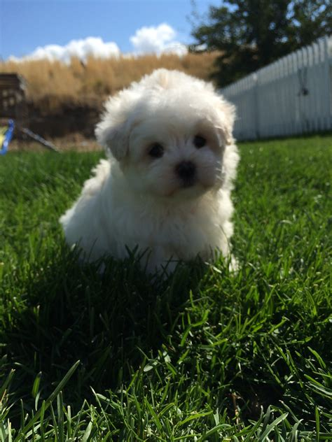 maltese puppies for sale oregon akc maltese puppies for sale in oregon females and males availablemaltese puppies