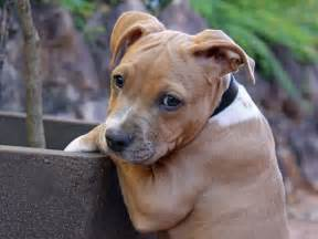 american staffordshire terrier essendon vet clinic
