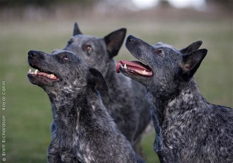 stumpy cattle 17 best images about australian cattle dogs on to be puppy and blue