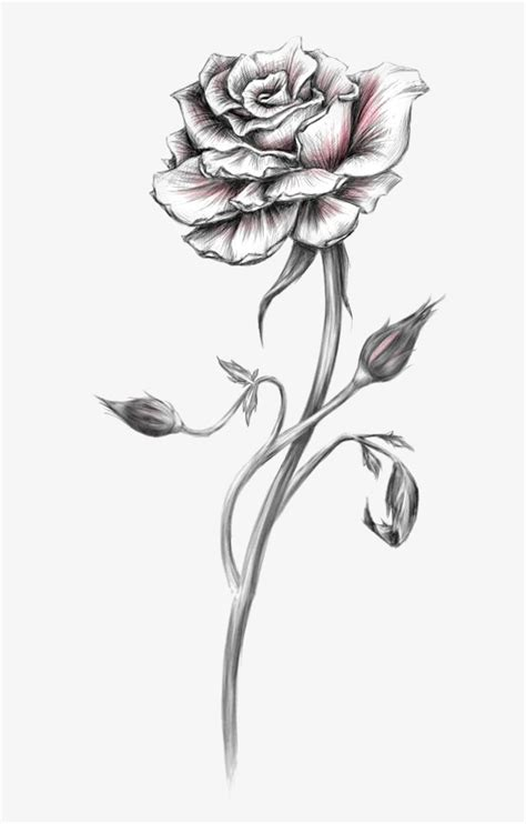 rose sketch hand painted roses rose flowers png image