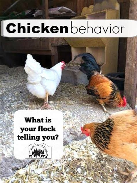 Backyard Chickens Pecking Order The World S Catalog Of Ideas