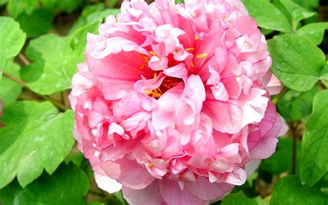peony flowers romantic flowers peony flower