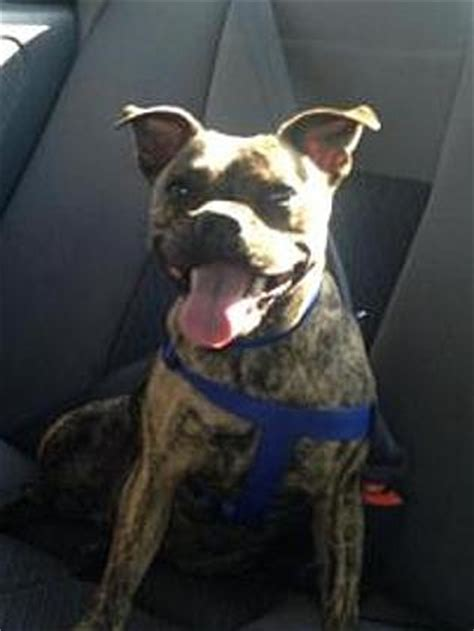 staffy cross pug chelsea heights owner desperate to find missing brindle staffy pug cross called milly