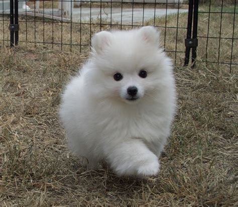 miniature american eskimo puppies american eskimo eskies come in standard miniature and they are like lays