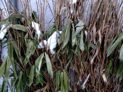 bambus winter garten anders in wie weit ist bambus wirklich winterhart
