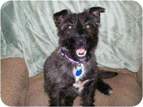 brindle cairn haircut bashiga adopted dog watertown sd cairn terrier