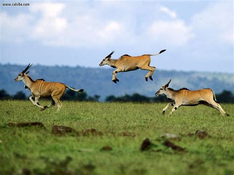 Animals: Jumping Contest Cape Eland Kenya Africa, picture
