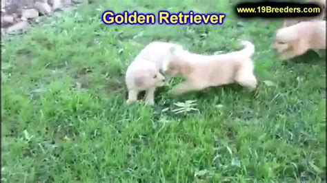 golden retriever puppies peoria il golden retriever puppies dogs for sale in chicago illinois il 19breeders