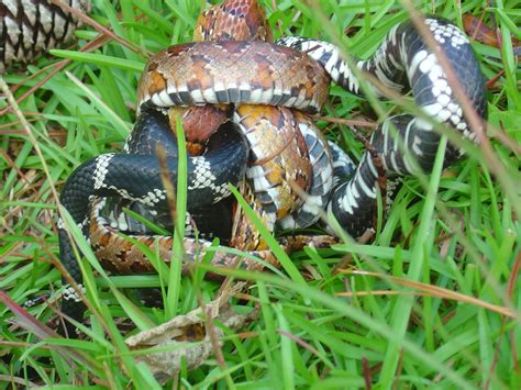 vs snake posts during july 2012 for ophiophagy
