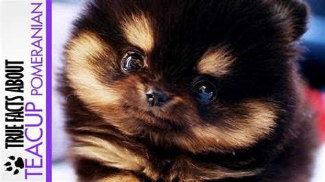 what is a teacup pomeranian true facts about teacup pomeranian