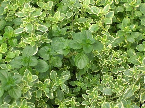 Thyme Herbs thyme images search