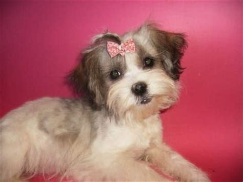 dachshund shih tzu mix for sale maltese shih tzu mix puppies for sale in pa