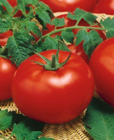 Big Hybrid Tomato 10 Benih gardening s big beef hybrid tomato seeds lycopersicon esculentum 0 1 grams approx 35