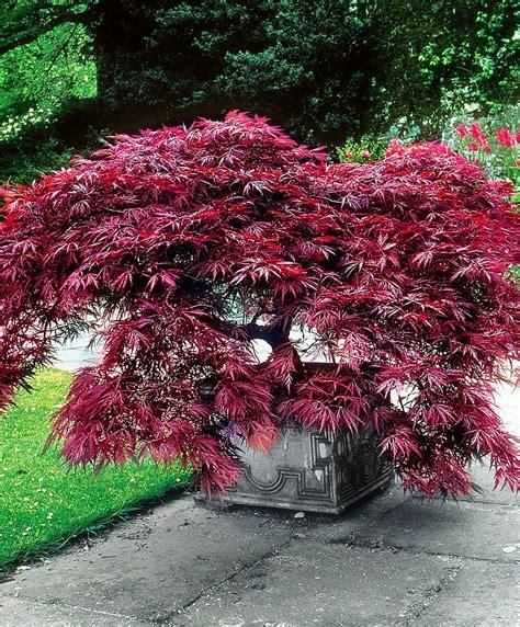 Pflanze Kaufen 216 by Japanischer F 228 Cherahorn Dissectum Garnet Produktbild