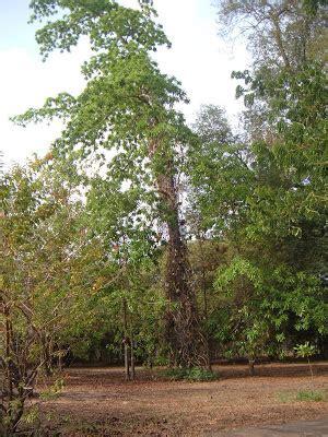 Naga Tattoo Coimbatore | naga lingam tree in tamil