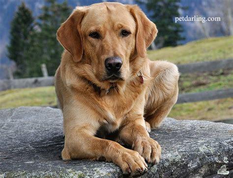 imagenes animales con pelo perros de pelo corto razas y fotos