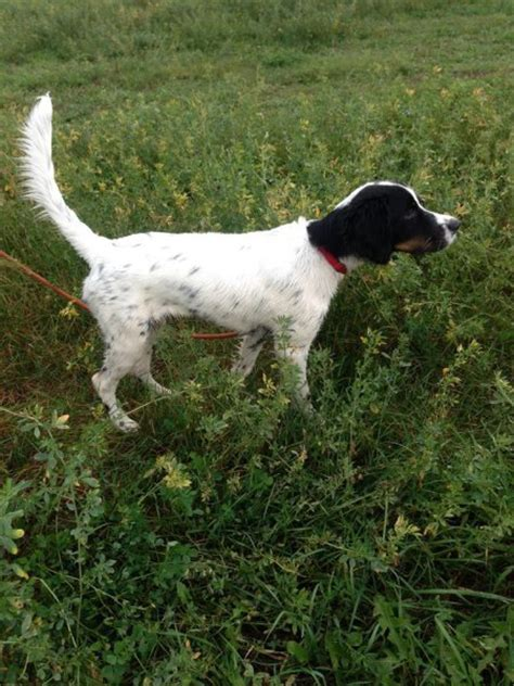 english setter grouse dogs for sale windfall farm english setters hunting dog breeders
