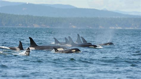 killer whale collection pictures of killer whales collection for free