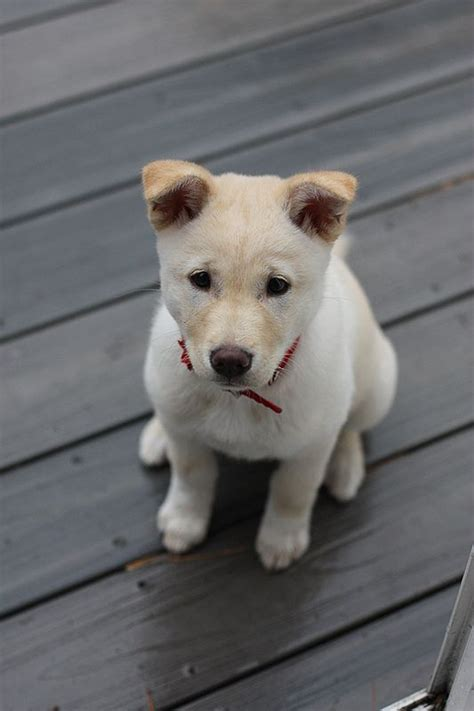 jindo puppies korean jindo want korea