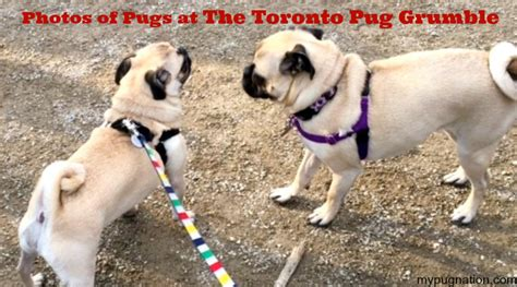 adopt a pug toronto adorable photos of pugs at the toronto pug grumble mypugnation