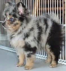 dapple pomeranian pomeranian blue merle puppy puppies dogs pup blue merle pomeranian