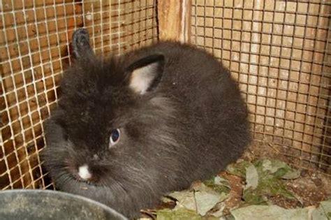 coniglietti nani alimentazione coniglio nano testa di quanto cresce il carattere
