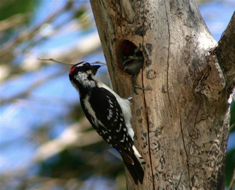 downy woodpeckers nest hole jpg zoology division of birds