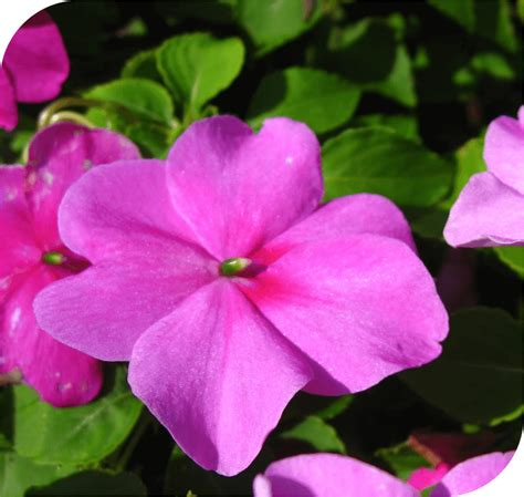 impatiens the time flower i love homeopathy