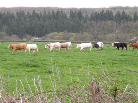 Hem Verna Q vachement belles vaches dans le nivernais